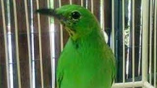Tips Dari Sang Master Perawatan Burung Cucak Ijo Mabung