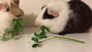 The Guinea Pig Show: Parsley eating competition