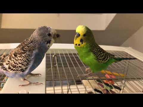 Kiwi lectures Pixel, then Pixel lectures Kiwi
