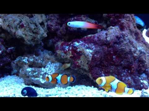 True Percula Clownfish With False Percula And Firefish Goby