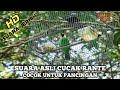 Suara Asli Cucak Ranting Cocok Untung Pancingan Maupun Untuk Pikat  Mp3 - Mp4 Download