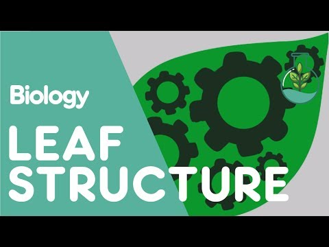 Structure of the Leaf | Plant Biology | The Fuse School