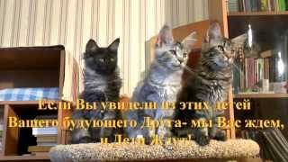Котята мейн кун от 24.10.2014