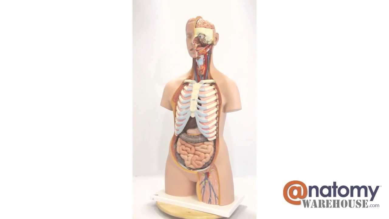 Classic Human Unisex Torso Anatomy Model 21 Parts By