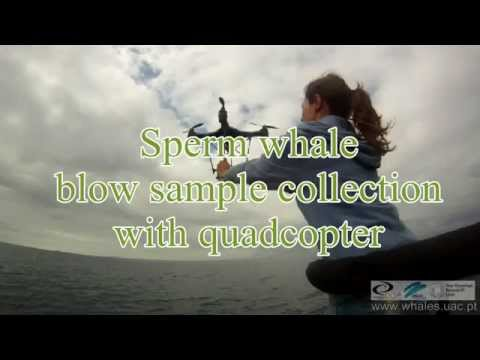 Sperm whale blow sample collection with quadcopter