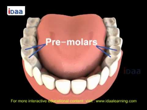 Teeth Structure For Kids In Science Body Parts 3d Youtube