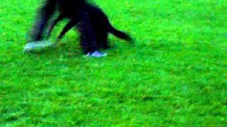 German Shepherd Malaysia- Raisa Protection Training(3): Sch3