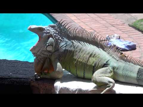 Iguana Breeding Season Aggression