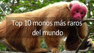 Top 10 Monos Más Raros Del Mundo