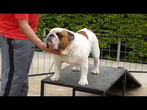 Big Papi Bulldogs - MULTI CH Bigpapibull Sir Francis Bacon