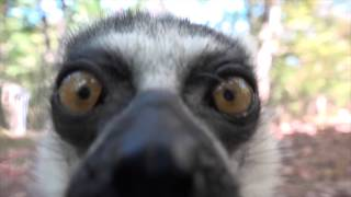 A lemur uses his stinky tail to tell a camera to beware