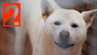 Korean Jindo Dog Documentary 2/4 - 한국의 명견, 진도개, 진돗개 - the world premium dog