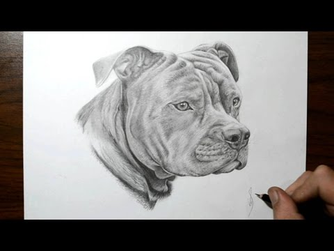 how-to-draw-a-dog---pit-bull