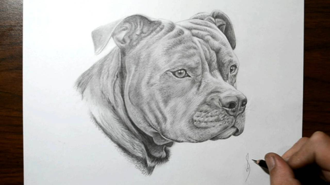 Pitbull dog drawings in pencil - photo#5