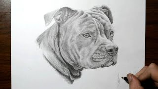 How to Draw a Dog - Pit Bull