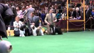Westminster Kennel Club New York City 2011~ TIBETAN TERRIERS ~ Ring 6.