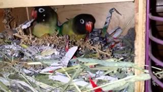 Inside A Lovebird Nest Box