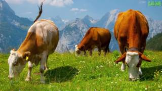 звуки животных корова | звуки животных для самых маленьких