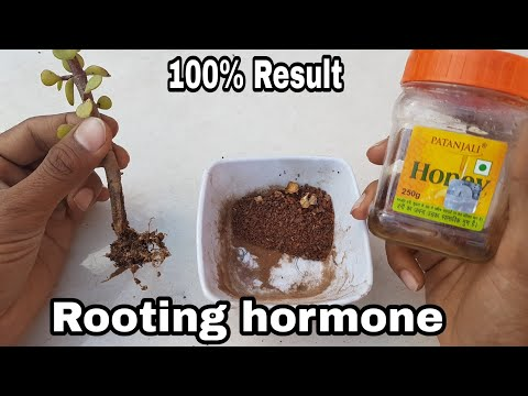 How to make Rooting hormone at home with 100% result, Organic Rooting Hormone