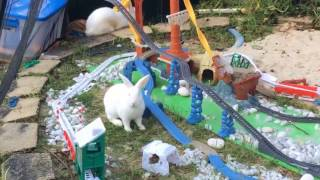 thomas the train rabbit shares food with ashima