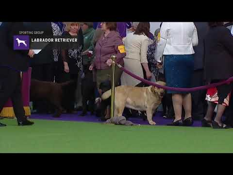 Retrievers Labrador | Breed Judging 2019