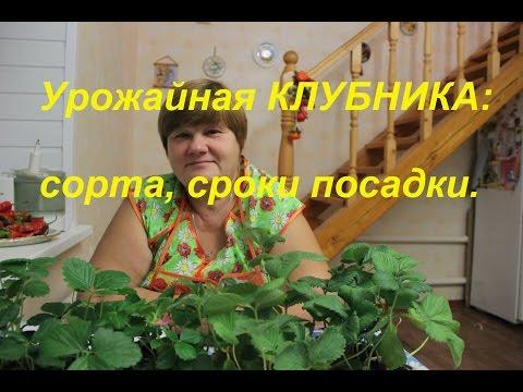 Урожайная клубника: сорта, сроки посадки.