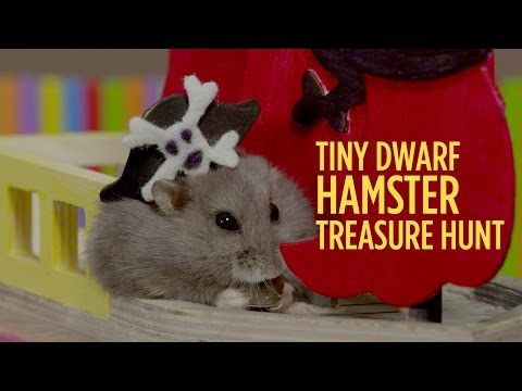 Tiny Dwarf Hamster Treasure Hunt - Starring Dumptruck & Porkchop