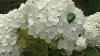 Пышная гортензия.  Lush hydrangea(, 2016-09-17T17:12:50.000Z)