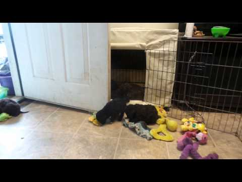 Portuguese Water Dog Puppies D'Agua