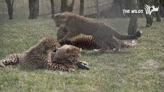 Cheetah Cubs Play with Kong