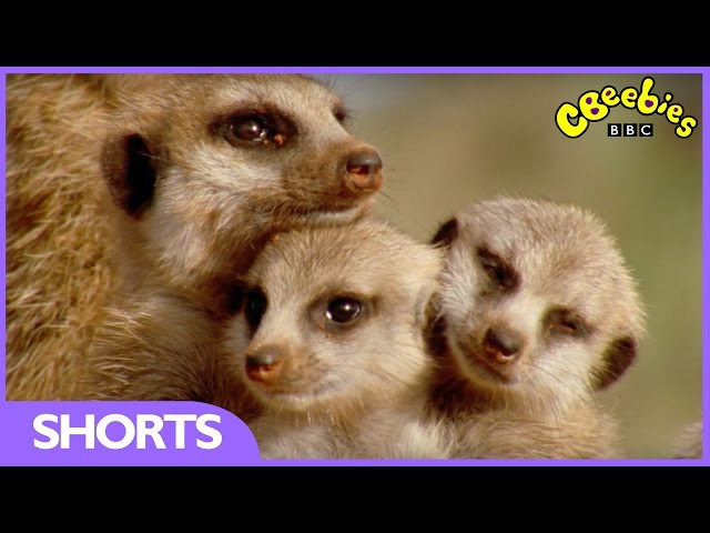 CBeebies | Funny: Baby Meerkats can't stay awake | Andy's Baby Animals