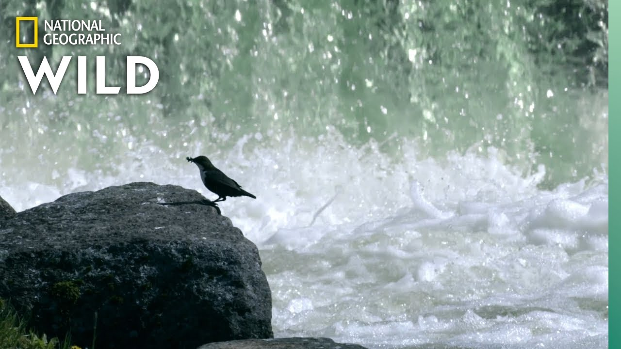 Birds Fly Through Water For Food | Wild Nordic