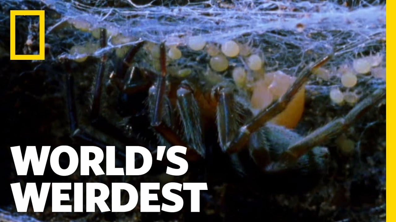 Mother-Eating Spiders | Worlds Weirdest