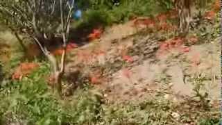 2013年9月28日 ヒガンバナ 子安の里/横須賀市/三浦半島/神奈川県...