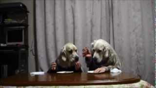 以前Youtubeで見たワンコとの二人羽織に兄弟2匹で挑戦してみま...