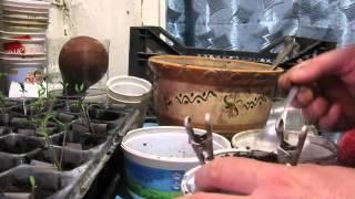 Рассада помидоров в конце марта.Видео №2.(Этот ролик обработан в Видеоредакторе YouTube (https://www.youtube.com/editor), 2016-03-26T12:25:56.000Z)