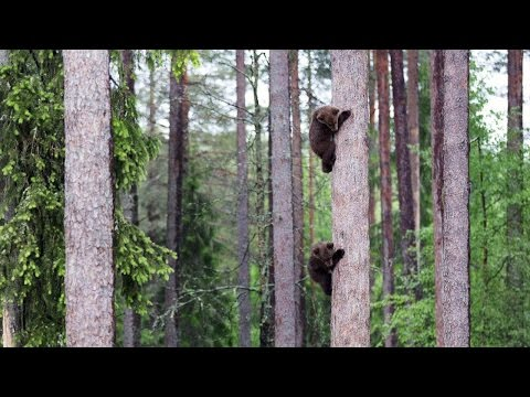 Adorable Baby Bears Climb Tall Tree
