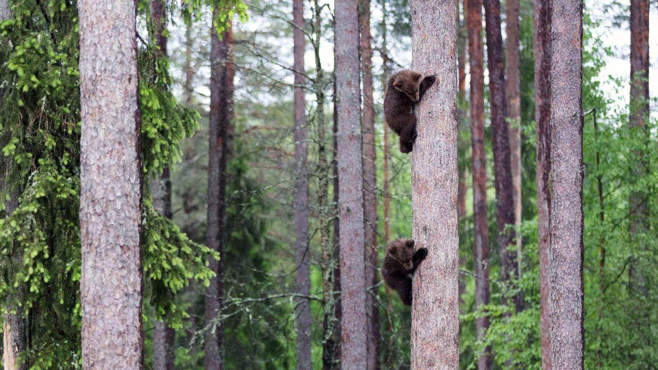 adorable baby bears climb tall tree youtube
