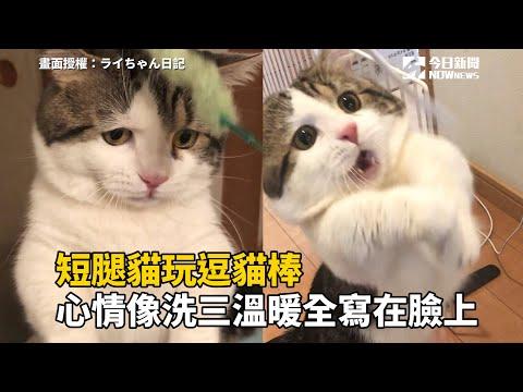 短腿貓玩逗貓棒 心情像洗三溫暖全寫在臉上