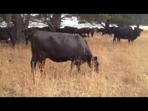 Hollyburton's organic cows