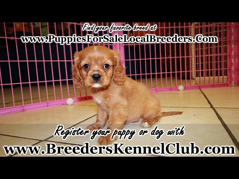 RUBY CAVALIER KING CHARLES SPANIEL PUPPIES FOR SALE GEORGIA LOCAL BREEDERS