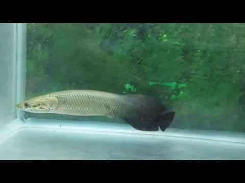 cá hải tượng size 25cm giá 2tr/1 con