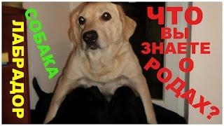 Собака Лабрадор и ее черные щенки )