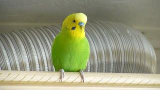 Утро моего попугая//Веселое пение попугая//Птицы
