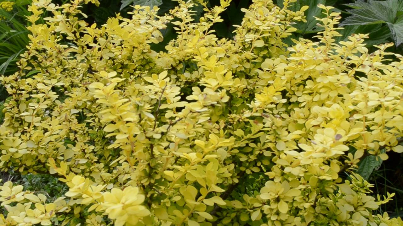 Куст с желтыми листьями название фото