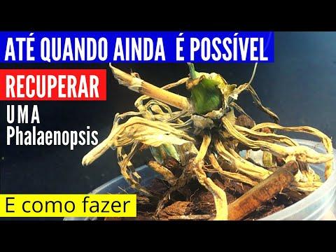 RECUPERAR Orquídeas Phalaenopsis: Tudo que você precisa saber antes de tentar recuperar Phalaenopsis