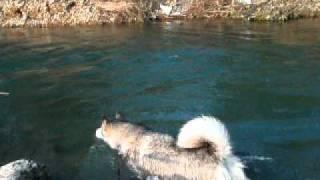 Alaskan Malamute アラスカンマラミュート 川遊び パート3.
