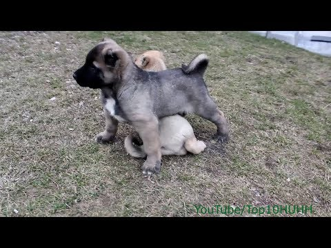 Kangal Turkish Kangal Puppies