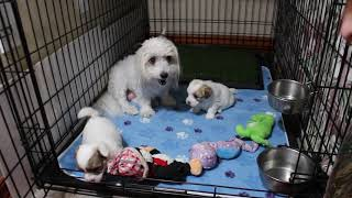 Coton Puppies For Sale - Hannah 1/22/21
