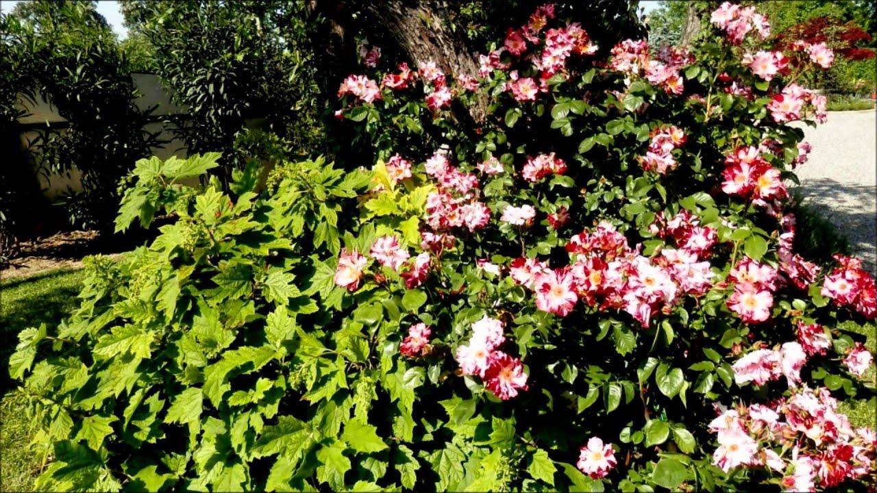 Il giardino delle rose 2014 youtube - Il giardino delle rose ...